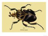 Beetle: African Goliathus Magnus Kunst av Sir William Jardine