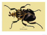 Beetle: African Goliathus Magnus Art by Sir William Jardine
