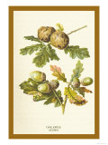 Oak Apple Acorn Posters by W.h.j. Boot