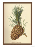 Cone of a Stone Pine Posters by W.h.j. Boot