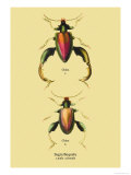 Beetle: Chinese Sagra Buquetu Posters by Sir William Jardine