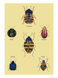 Beetles of Barbary and the Americas Posters by Sir William Jardine