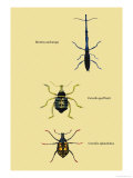 Beetles: Brentus Anchorago, Curculio Geoffroy Prints by Sir William Jardine