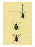 Beetles: Brentus Anchorago, Curculio Geoffroy Prints by Sir William Jardine