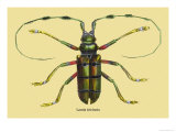 Beetle: Lamia Tricincta Print by Sir William Jardine
