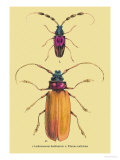 Beetles: Prianus Corticinus and Lanhonocerus Harbicarnis Posters by Sir William Jardine