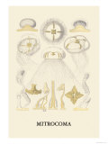Jellyfish: Mitrocoma Prints by Ernst Haeckel