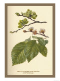 Fruit, Flower and Leaves from Wych Elm Prints by W.h.j. Boot