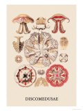 Jellyfish: Discomedusae Prints by Ernst Haeckel