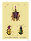 Beetles: Calosoma Sycophanta, Elaphrus Raperius Poster by Sir William Jardine