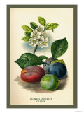 Flowers and Fruit of a Plum Art by W.h.j. Boot