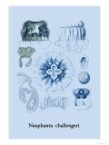 Jellyfish: Nauphanta Challengeri Prints by Ernst Haeckel