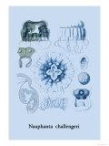 Jellyfish: Nauphanta Challengeri Posters by Ernst Haeckel