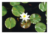 Water Lily Poster by Jason Pierce