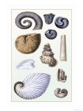 Shells: Ammonacea Prints by G.b. Sowerby