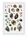 Shells: Sessile Cirripedes Posters by G.b. Sowerby