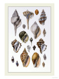 Shells: Sessile Cirripedes Prints by G.b. Sowerby