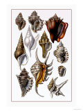 Shells: Trachelipoda Posters by G.b. Sowerby