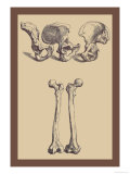 Pelvic Bones Poster von Andreas Vesalius