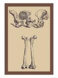 Pelvic Bones Prints by Andreas Vesalius