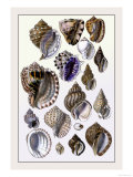 Shells: Purpurifera Art by G.b. Sowerby