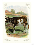 The Cow Stampa