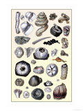Shells: Annelides and Cirripedes Posters by G.b. Sowerby