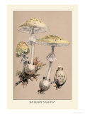 Deadly Amanita Prints by William Hamilton Gibson