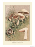 Agaricus Campestris Poster by William Hamilton Gibson
