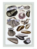 Shells: Monomyaria Art by G.b. Sowerby