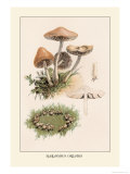 Marasmius Oreades Prints by William Hamilton Gibson