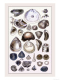 Shells: Monomyaria Prints by G.b. Sowerby