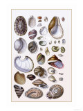 Shells: Gasteropoda and Trachelipoda Prints by G.b. Sowerby