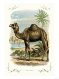 The Camel Posters