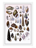 Shells: Trachelipoda Poster by G.b. Sowerby