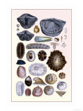 Shells: Monomyaria, Pteropoda, and Gasteropoda Prints by G.b. Sowerby
