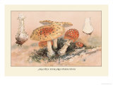 Amanita Muscaria Poisonous Prints by William Hamilton Gibson
