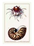 Scallop over Nautilus Prints