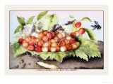 Dish of Cherries with a Bean and a Hornet Psters por Giovanna Garzoni