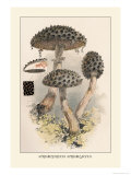 Strobilomyces Strobilaleus Prints by William Hamilton Gibson