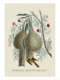 Different Nests of the Bayu Affiche par J. Forbes