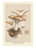 Hydnum Repandum Prints by William Hamilton Gibson