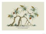 Pandanus Odoratissimus Keura Tree in Guzerat Prints by J. Forbes