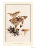 Lactarius Deliciosus Prints by William Hamilton Gibson