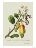 The Cashew Apple of Malabar Affiches par J. Forbes