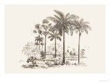 Palm Trees Prints by Baron De Montalemert