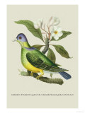 Green Pigeon and Cur Champhah of the Concan Art by J. Forbes
