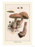 Boletus Edulis Posters by William Hamilton Gibson