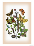 Moths: Eriogaster Rimicola, E. Catax Premium Giclee Print by William Forsell Kirby