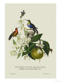 Humming Birds at the Brasils Posters par J. Forbes